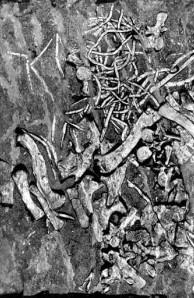 Fort Lee phytosaur