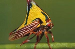 thornbug