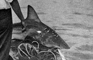 sharks caught