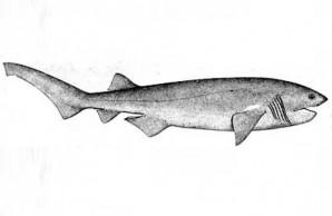 cow shark