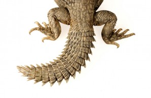 Tail of Uromastyx geyri