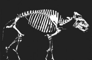 peccary skeleton