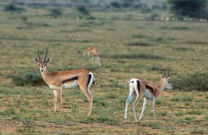 Female Grant's gazelles, Serengeti Plain