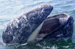 Gray whale gullett