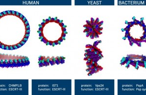Red, blue, purple, and red schematics of proteins in ring shapes