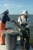 tagging bonethead shark