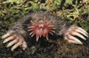 star-nosed mole