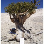 Great Basin bristlecone pine