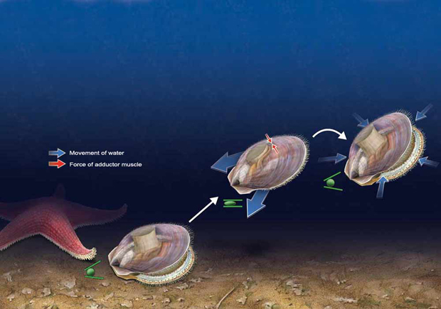 Scallop Locomotion